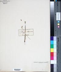 Image of Linum alpinum