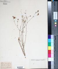 Linum tenuifolium image