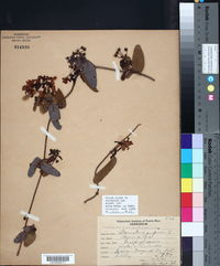 Image of Banisteria purpurea