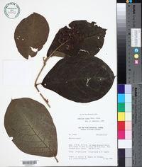 Image of Jubelina rosea