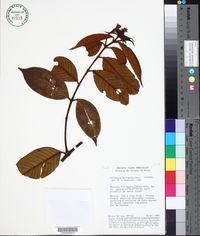 Vochysia ferruginea image