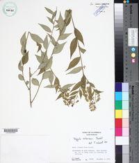 Image of Hebecarpa costaricensis