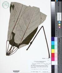 Schefflera morototoni image