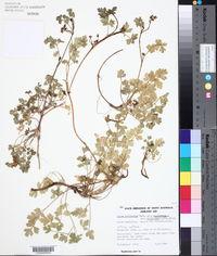 Apium prostratum image