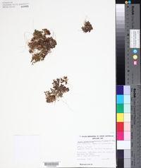 Image of Daucus glochidiatus