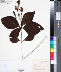 Image of Spigelia splendens