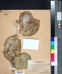 Calotropis procera image