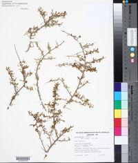 Image of Lycium australe
