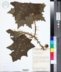 Image of Solanum pectinatum