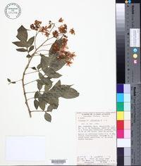 Image of Solanum refractum