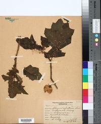 Image of Solanum ciliatum