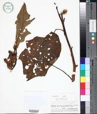 Image of Solanum acanthodes