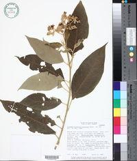 Image of Solanum granuloso-leprosum