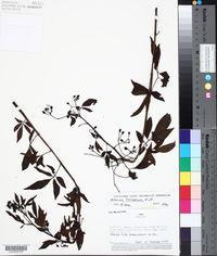 Image of Solanum ternatum