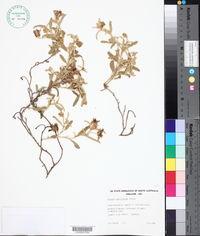 Image of Solanum coactiliferum