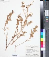 Image of Solanum eremophilum