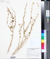 Image of Solanum oligacanthum