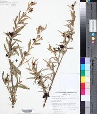 Image of Solanum sturtianum