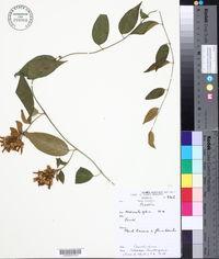 Image of Bonamia thunbergiana