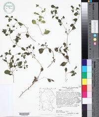 Image of Nama rotundifolia