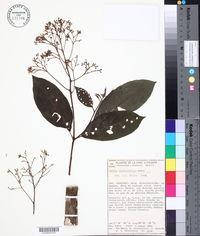 Image of Cordia diversifolia