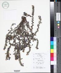 Image of Echium modestum