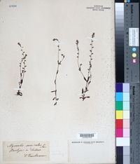 Myosotis versicolor image