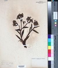 Pulmonaria angustifolia image