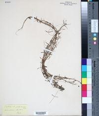 Callitriche platycarpa image