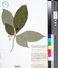 Image of Aegiphila costaricensis