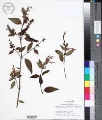 Image of Salvia littae