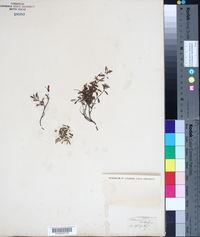 Image of Teucrium montanum