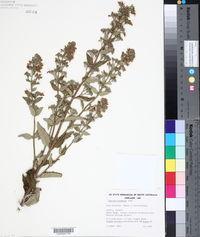 Image of Teucrium corymbosum