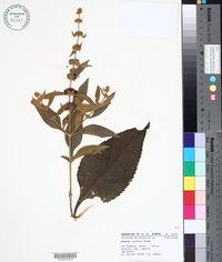 Image of Buddleja colvilei