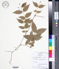 Image of Jasminum pauciflorum