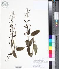 Alonsoa meridionalis image