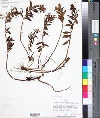 Image of Capraria peruviana