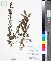 Image of Verbascum pseudocreticum