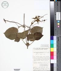 Amphilophium paniculatum var. molle image
