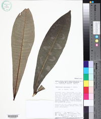 Amphitecna apiculata image