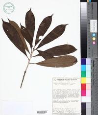 Image of Amphitecna tuxtlensis