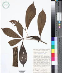 Amphitecna tuxtlensis image