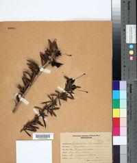Image of Crescentia linearifolia