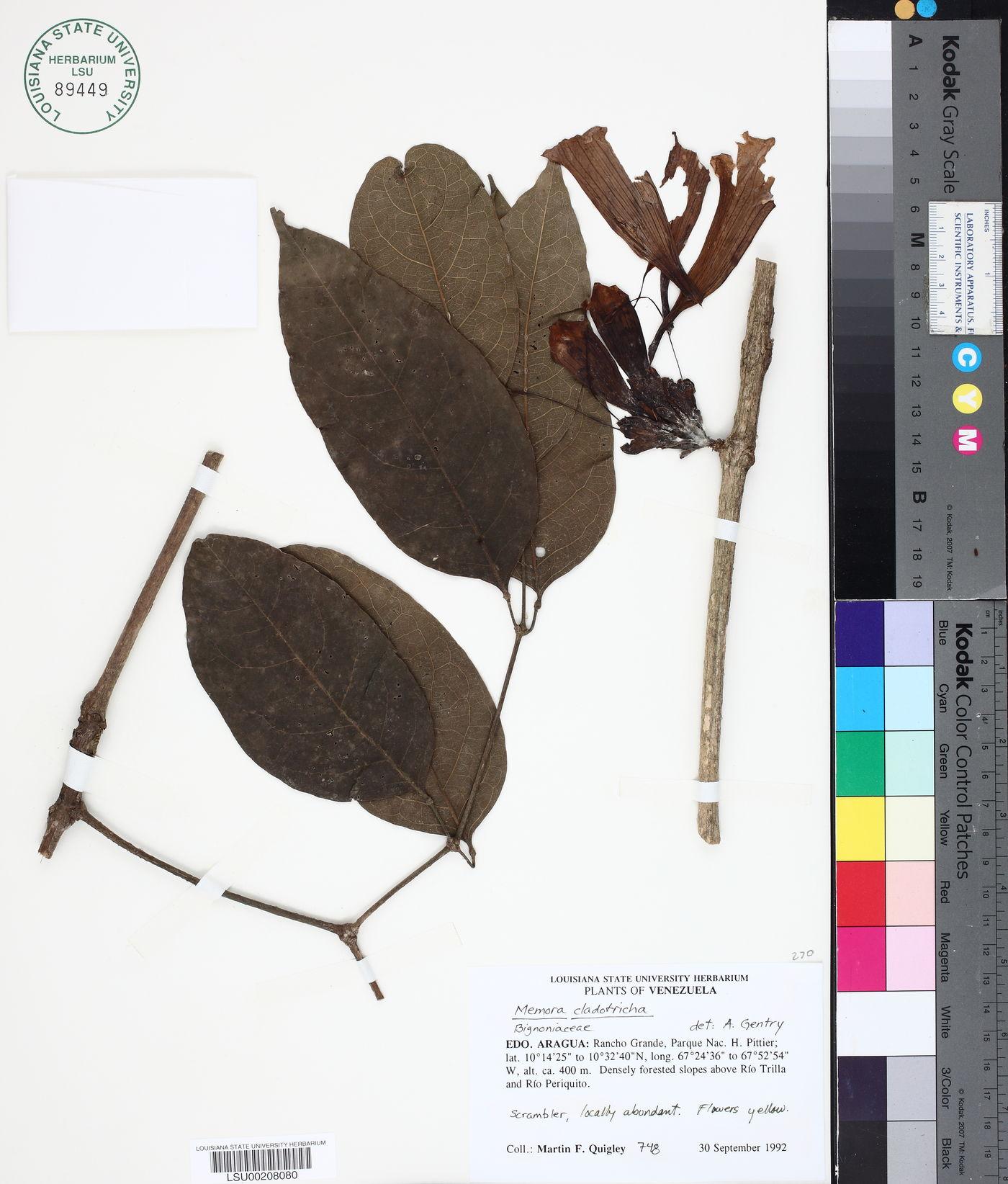 Adenocalymma cladotrichum image