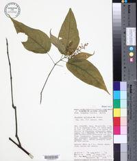 Image of Mirandea sylvatica