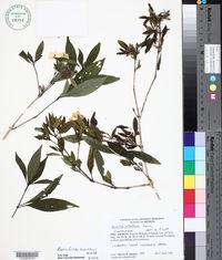 Image of Ruellia foetida