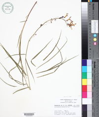 Image of Lobelia hintoniorum