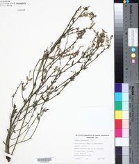 Image of Dampiera lavandulacea