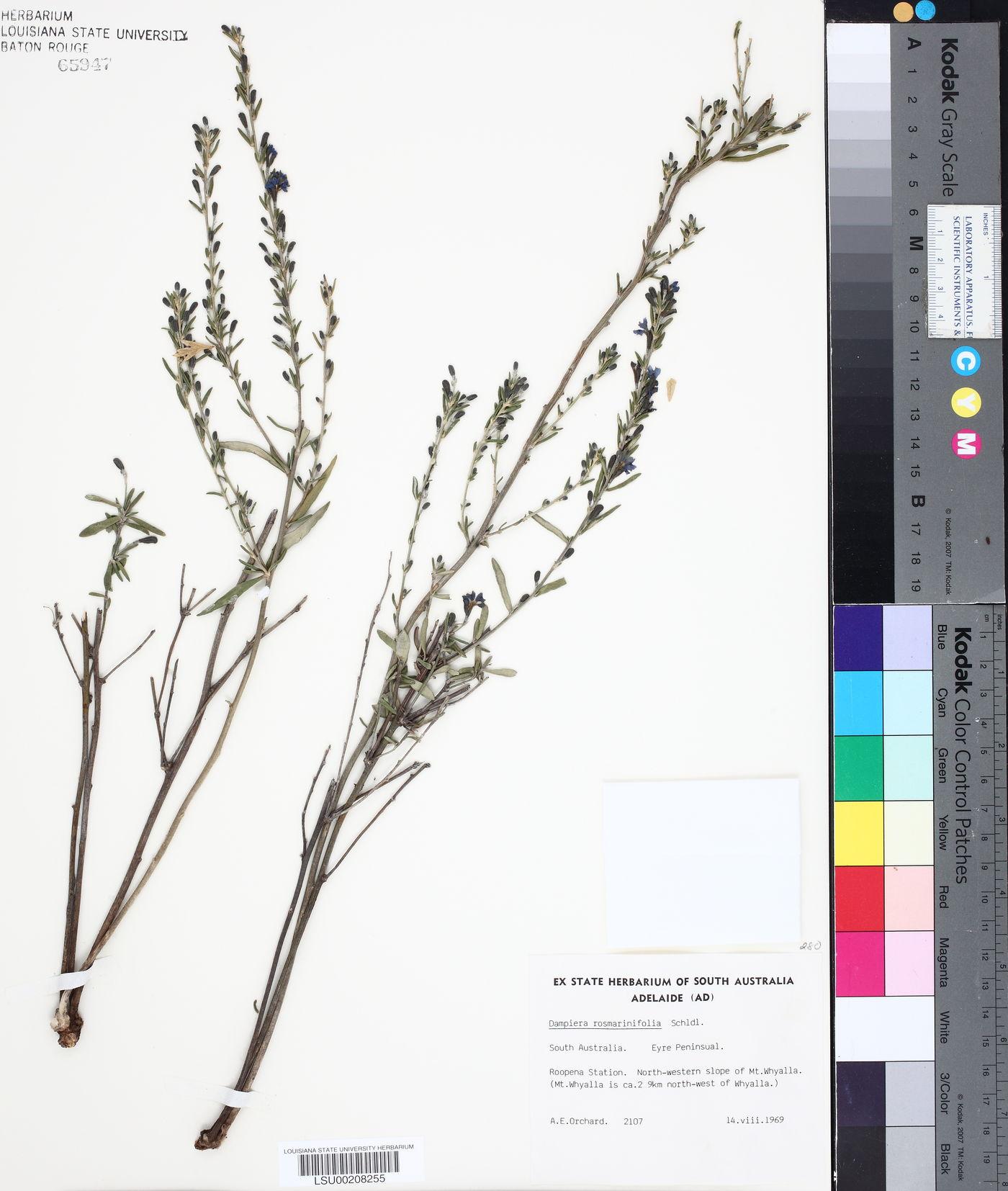 Dampiera rosmarinifolia image