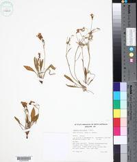 Image of Goodenia fascicularis